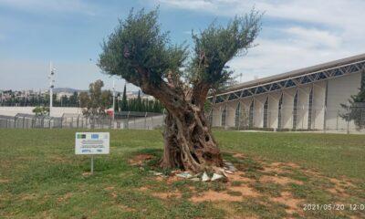 Μεταφύτευση ελαιόδεντρων στο ΟΑΚΑ-Πηγή: ΕΡΓΟΣΕ